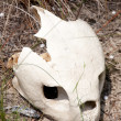 Sea Turtle Skull — Stock Photo