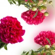 Flowers peonies — Stock Photo
