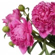 Peony flowers — Stock Photo