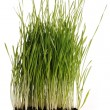 Green grass plant with its roots in mould isolated - Stock Photo