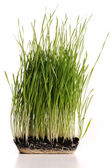 Green grass plant with its roots in mould isolated — Stock Photo