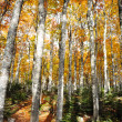 Forest tree autumn yellow and green background — Stock Photo