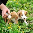 Stock Photo: Cute puppies