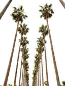 Hollywood palms — Stock Photo
