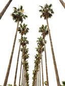 Hollywood palms — Stock Photo