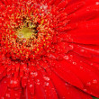 Red flower macro with water droplets on the petals — Stock Photo