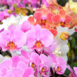 Orchids — Stock Photo #6299973
