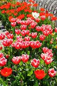 Bitki kırmızı lale — Stok fotoğraf