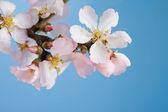 Flowering almond branch — Stock Photo