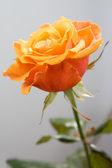 Красивые оранжевые розы — Стоковое фото