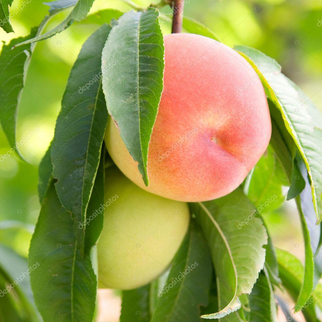 Как сделать персики спелыми 884