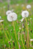 White dandelions among a green grass — Stock Photo