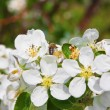 Blossoming of apple tree — Stock Photo