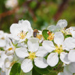 Stock Photo: Blossoming of apple tree