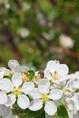 Blossoming of apple tree — Foto de Stock