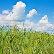 Ripping wheat field and cloudy sky — Stock Photo