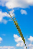 Ripping wheat ear and cloudy sky — Stock Photo