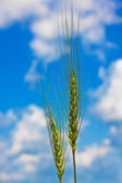 Ripping wheat ears and cloudy sky — Stock Photo