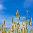 Stock Photo: Ripping wheat ears and cloudy sky