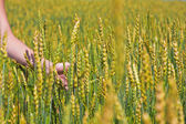 Female hand and ripping wheat ears — Stock Photo