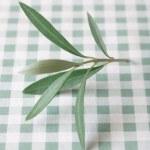 Olive tree twig — Stock Photo