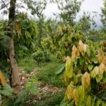Cacao plantation — Stock Photo