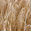 Barley — Stock Photo #5926522