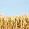 Corn field — Stock Photo #5928007