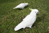 Cockatoos in park — Stock Photo