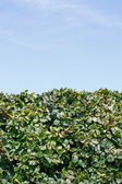 Groene hedge — Stockfoto