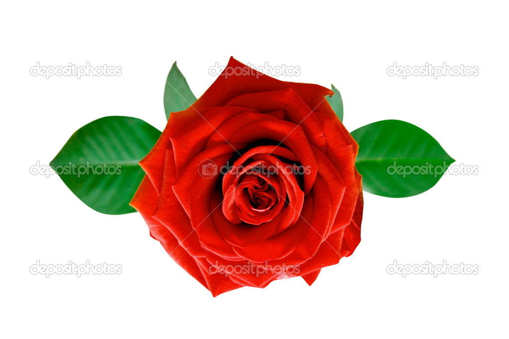 Beautiful rose — Stock Photo #5926477