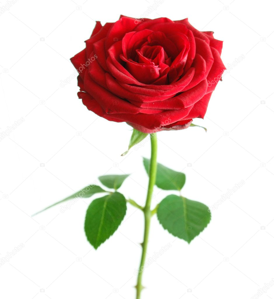 Beautiful rose  Stock Photo #5926480
