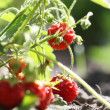 Strawberry in the garden — Stock Photo