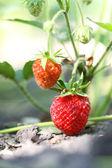 庭のイチゴ — ストック写真