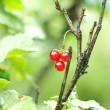Redcurrant berry on the branch — Stock Photo