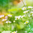 Chamomile wildflowers on the green meadow — Stock Photo