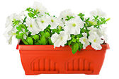 White petunia in terracotta flower pot — Stock Photo