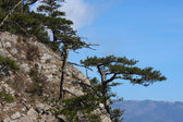 Pine on a cliff — Stock Photo
