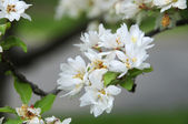 Close-up of crab apple blossoms blooming — Stock Photo