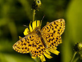 Butterfly on a yellow flower — Stock Photo