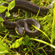 Stock Photo: Snake in grass