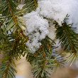 Snow on a fur-tree branch - Stock Photo