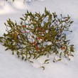 Branch of a mistletoe with berries on snow — Stockfoto