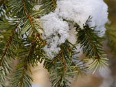 Snow on a fur-tree branch — Stock Photo