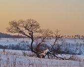 Albero solitario al tramonto — Foto Stock