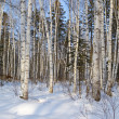 Birch wood in the winter — Stock Photo