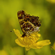 The motley butterfly on a yellow flower — Stock Photo