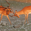 Black-faced Impalas — Stock Photo #5486997