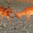 Black-faced Impalas - Stock Photo