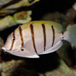 Convict Surgeonfish — Stock Photo